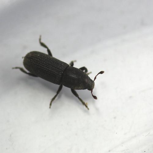 hylastes ater il sort du bois le monde des insectes. Black Bedroom Furniture Sets. Home Design Ideas