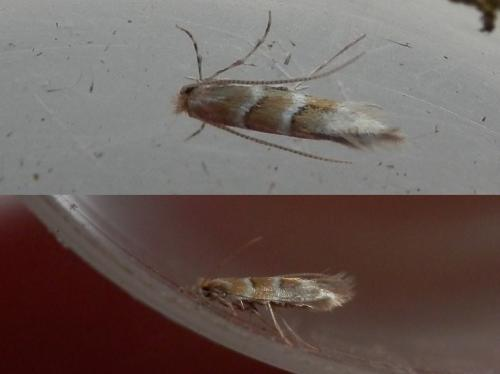 Cameraria ohridella] Cameraria ohridella   Le Monde des insectes