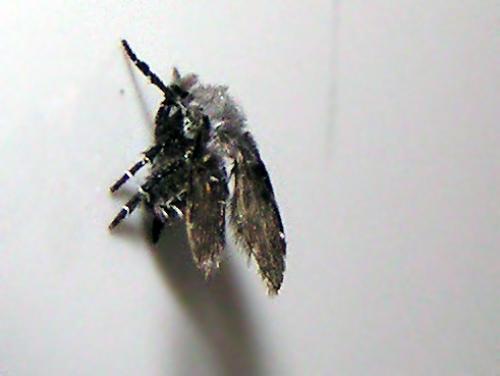 clogmia albipunctatus peut tre pas un l pido le monde des insectes. Black Bedroom Furniture Sets. Home Design Ideas