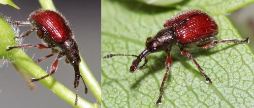 tatianaerhynchites aequatus tatianaerhynchites aequatus pattes rouges le monde des insectes. Black Bedroom Furniture Sets. Home Design Ideas