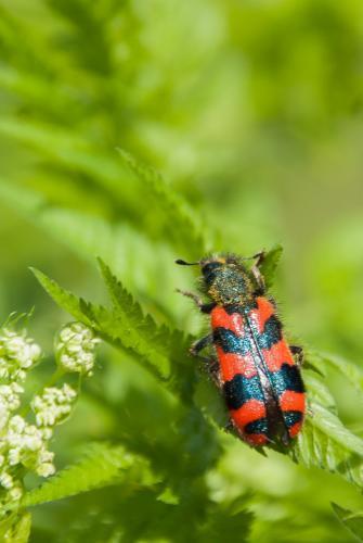 Trichodes alvearius col opt re rouge et noir le monde des insectes - Insecte rouge et noir ...