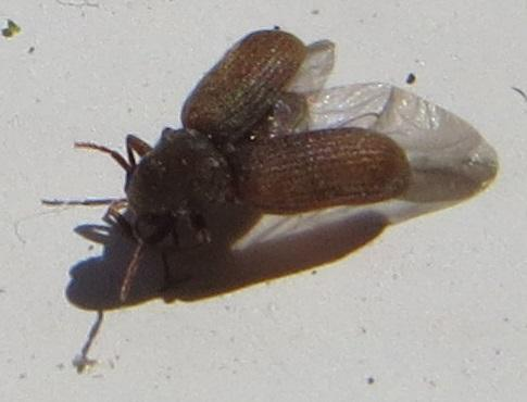 anobiidae est ce bien une petite vrillette anobium punctatum le monde des insectes. Black Bedroom Furniture Sets. Home Design Ideas