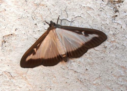 Cydalima perspectalis papillon de nuit blanc bord de noir le monde des insectes - Signification papillon de nuit ...