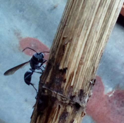 isodontia mexicana f gu pe qui fait son nid le monde des insectes. Black Bedroom Furniture Sets. Home Design Ideas