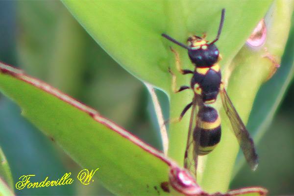 identification d'un vespidae 5188_web