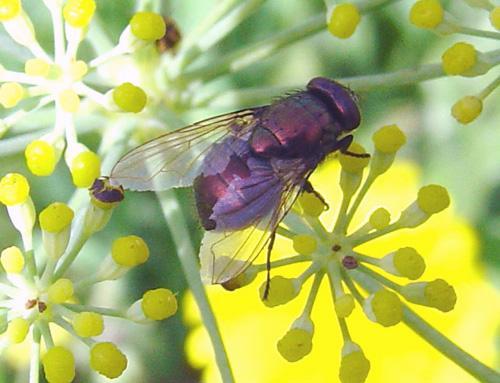 Clef des mouches vertes le monde des insectes - Invasion de mouches vertes ...
