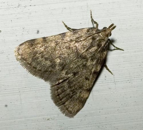 Aglossa pinguinalis papillon de nuit le monde des insectes - Invasion papillon de nuit ...