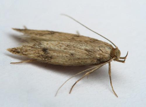 Borkhausenia nefrax mite beige le monde des insectes - Larve de mite ...