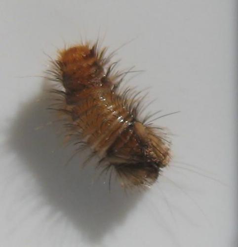 dermestidae sp b 234 te myst 232 re le monde des insectes