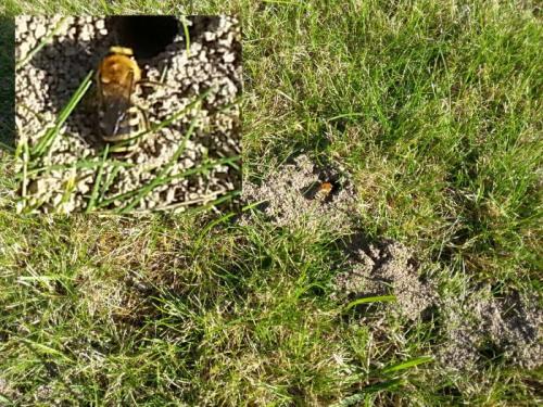 Colletes hederae abeilles ou guepes dans ma pelouse le monde des insectes - Fourmis dans le jardin ...