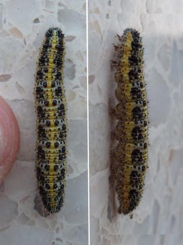 Pieris brassicae chenille bandes jaunes et grises et points noirs le monde des insectes - Chenille jaune et noire danger ...