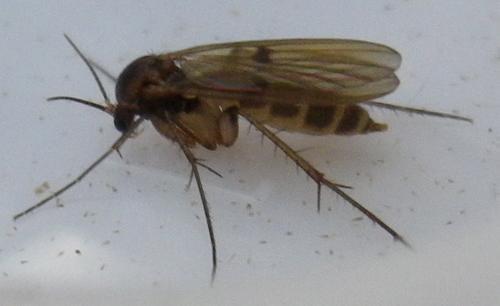 www.galerie-insecte.org/galerie/image/dos152/big/diptere_1b_blang.jpg