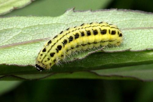 Zygaena transalpina chenille jaune dessins noirs le monde des insectes - Chenille verte et noire ...