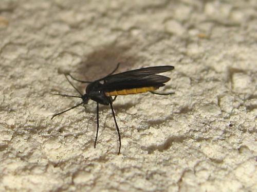 sciara sp moucheron noir de jais dessous jaune le monde des insectes. Black Bedroom Furniture Sets. Home Design Ideas