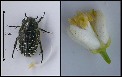 oxythyrea funesta des trangers sur mes orangers le monde des insectes. Black Bedroom Furniture Sets. Home Design Ideas