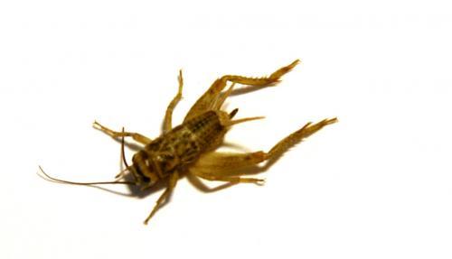 acheta domesticus cafard ou sauterelle le monde des insectes. Black Bedroom Furniture Sets. Home Design Ideas