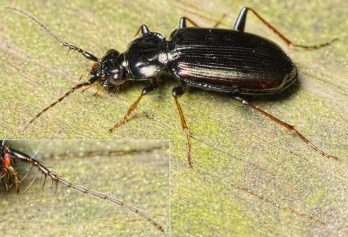Loricera pilicornis une douze stries le monde des - Barriere aux insectes ...