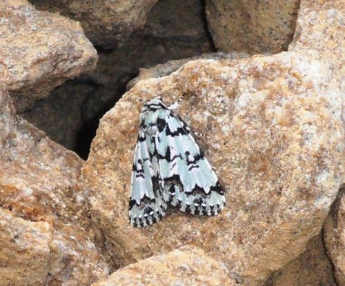 Moma alpium papillon de nuit blanc et noir le monde des insectes - Duree de vie papillon de nuit ...