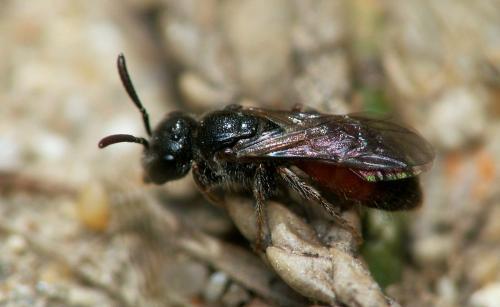 Sphecodes sp rouge et noir le monde des insectes - Insecte rouge et noir ...