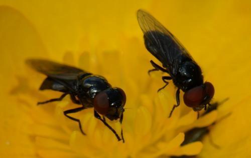 melanogaster nuda petites mouches noires aux yeux rouges le monde des insectes. Black Bedroom Furniture Sets. Home Design Ideas
