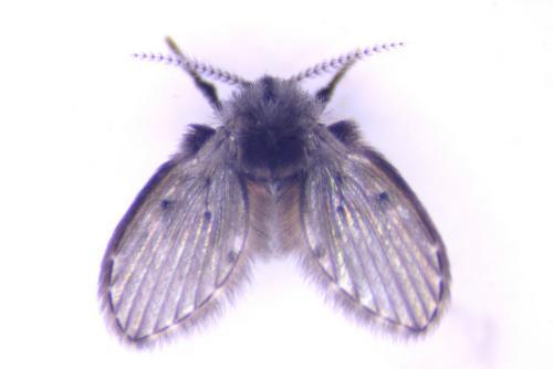clogmia albipunctatus l pidodipt re le monde des insectes. Black Bedroom Furniture Sets. Home Design Ideas