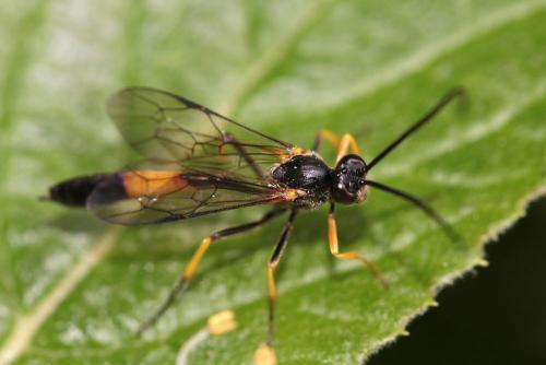 Dusona sp f ichneumon jaune et noir le monde des insectes - Mouche jaune et noire ...