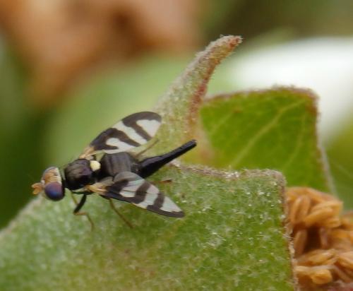 urophora quadrifasciata petite mouche ailes noires et blanches le monde des insectes. Black Bedroom Furniture Sets. Home Design Ideas