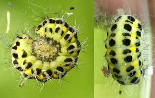 Zygaena sp chenille verte points jaunes et noirs le monde des insectes - Chenille verte et noire ...