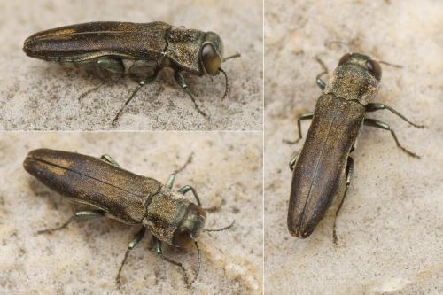 Agrilus sp petit bupreste marron 1 tiret jaune jardin le monde des insectes - Reconnaitre les insectes xylophages ...