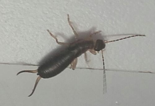 Insecte fin avec de longues antennes dans cuisine le - Insectes dans la cuisine ...