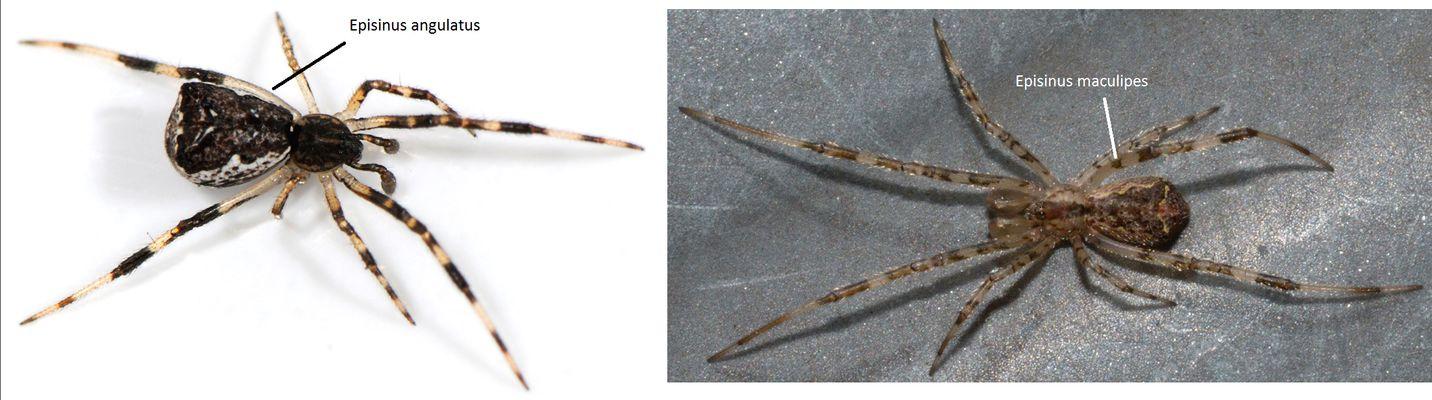 Philippe Legros - Episinus sp. - réf. 166933 (1432 x 400 pixels, 101 ko)