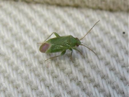 miridae orthotylini mini miridae vert littoral le monde des insectes. Black Bedroom Furniture Sets. Home Design Ideas