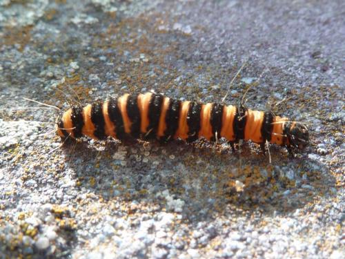 Tyria jacobaeae chenille ray e orange et noir le monde des insectes - Chenille verte et noire ...