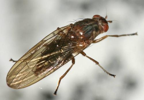 Dryomiza flaveola grosse mouche d 39 hiver le monde des - Vmc qui fait du bruit ...