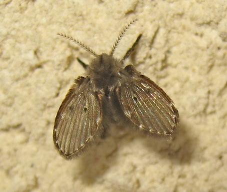 Microscopique à identifier [diptère peut être Clogmia albipunctata ] Img_4892.jpg