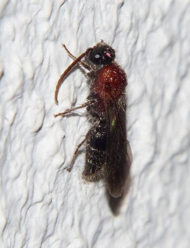 Smicromyrmini m rouge et noir poilu le monde des insectes - Insecte rouge et noir ...