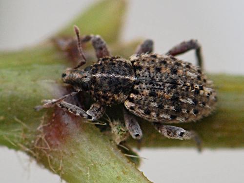 brachypera crinita hyperinae gros points noirs le monde des insectes. Black Bedroom Furniture Sets. Home Design Ideas