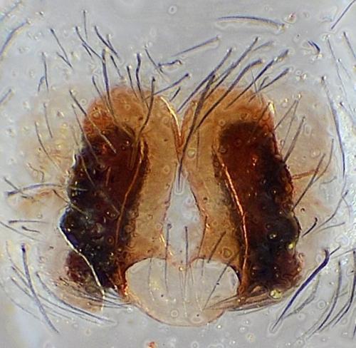 cicurina cicur quizz r visionnel femelle le monde des insectes. Black Bedroom Furniture Sets. Home Design Ideas