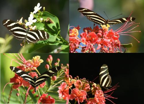 superbes papillons! - Page 2 Heliconius_chari