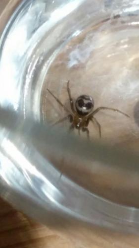 Steatoda grossa identification d 39 une araign e le monde des insectes - Une araignee dans la salle de bain ...