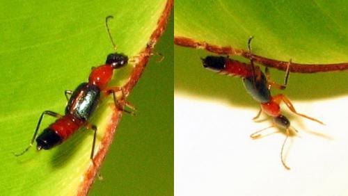 Paederus sp je suis pas trop s re gabon le monde des insectes - Insecte rouge et noir ...