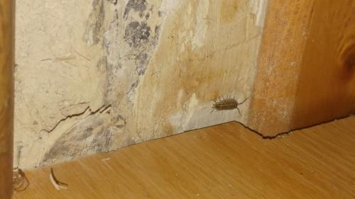 Porcellio Spinicornis Insecte Dans Salle De Bain Le Monde Des - Insecte humidite salle de bain