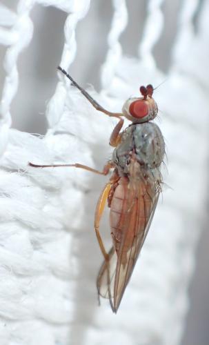 tephrochlamys rufiventris petite mouche et son passager le monde des insectes. Black Bedroom Furniture Sets. Home Design Ideas