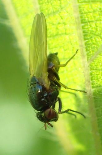 calliopum sp une toute petite noire aux yeux ray s le monde des insectes. Black Bedroom Furniture Sets. Home Design Ideas