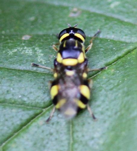 oxycera rara petite mouche noire et jaune le monde des insectes. Black Bedroom Furniture Sets. Home Design Ideas