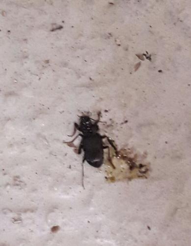 Cafard France carabidae] cafard ou pas ?.. - le monde des insectes