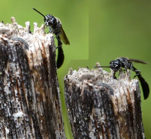 Bộ sưu tập côn trùng 2 Hymeno%201a
