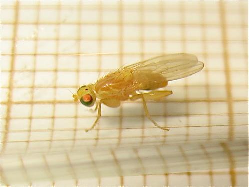 chyromya sp petite jaune aux yeux verts le monde des insectes. Black Bedroom Furniture Sets. Home Design Ideas