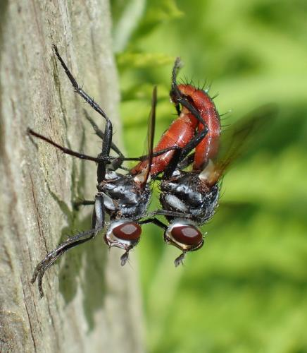 Cylindromyia bicolor couple de cylindres rouge et noir le monde des insectes - Insecte rouge et noir ...