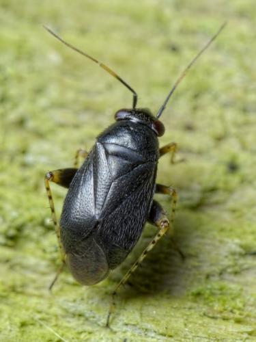 Chlamydatus pullus poils aux points noirs le monde des - Barriere aux insectes ...